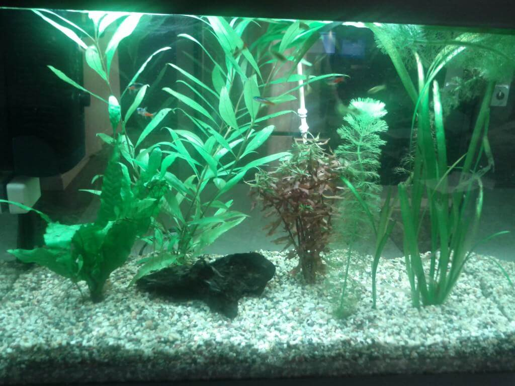 Biological fish tank algae control piece of mind for Black algae in fish tank